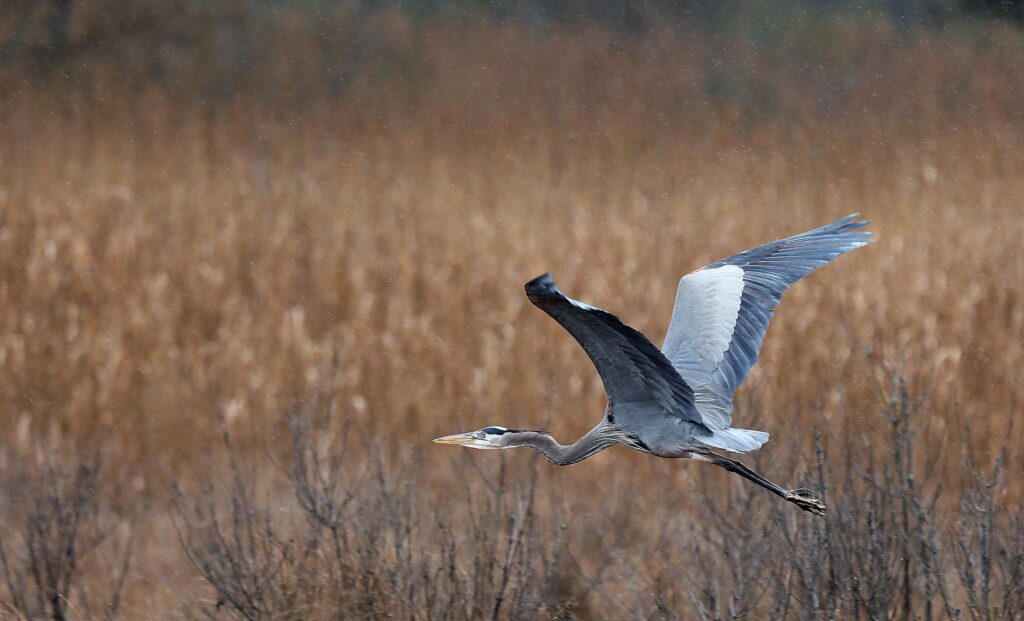 A blue heron takes flight over the march along School House Road in the Naxera section of Gloucester County Thursday February 13, 2020.