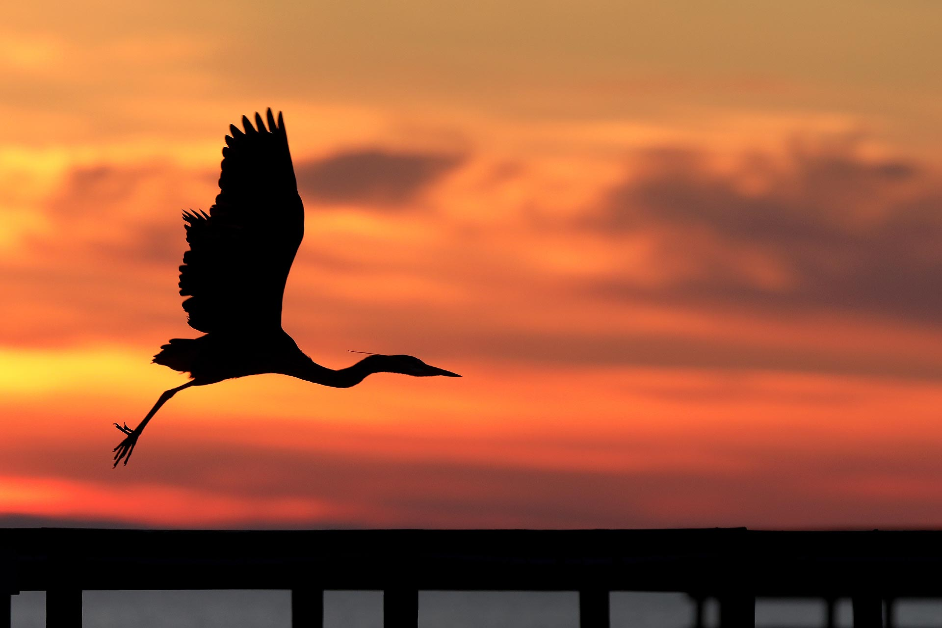 A great blue heron takes flight from the fishing pier at Gloucester Point Monday morning March 2, 2020.