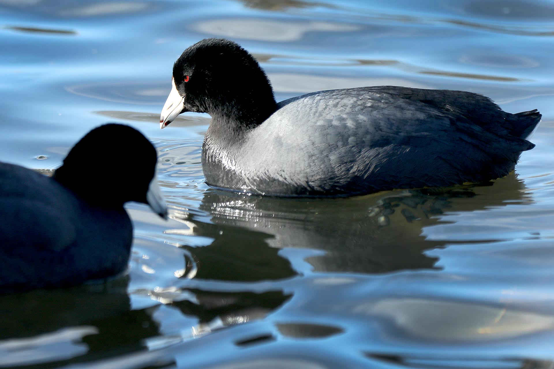 A couple of American coots also known as a mud hen searches for a meal at Beaverdam Park Friday February 14, 2020.